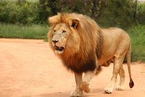 African lion  von Bastian Linder