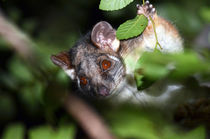 Curious Possum by Karen Black