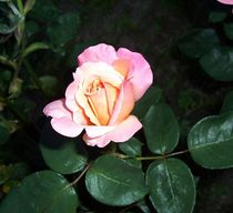 Rose  von Edmond Marinkovic