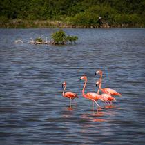 Flamingos in water in Cuba von Bastian Linder