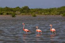 Flamingos in water in Cuba by Bastian Linder