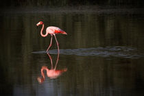 Flamingos in water in Cuba by Bastian Linder