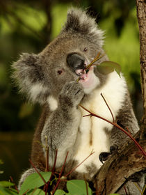 Koala sitting in an Eucalyptus Tree, Australia, Close Up von Bastian Linder