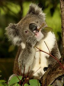 Koala sitting in an Eucalyptus Tree, Australia, Close Up by Bastian Linder