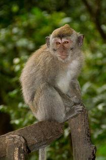 Macaque monkey portrait sitting von Bastian Linder