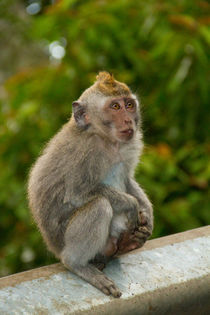 Macaque monkey portrait sitting by Bastian Linder