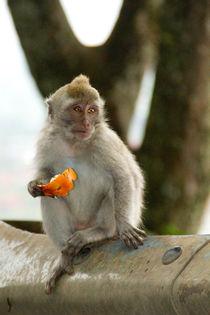 Macaque monkey portrait eating von Bastian Linder
