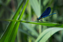 Blue dragonfly on leaf by Bastian Linder