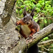 Rot braunes Eichhörnchen Kontakt von kattobello