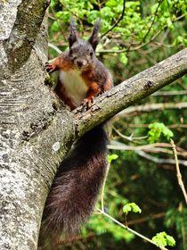 Rot braunes Eichhörnchen im Wald von kattobello
