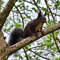 Rot braunes Eichhörnchen auf einem Ast von kattobello