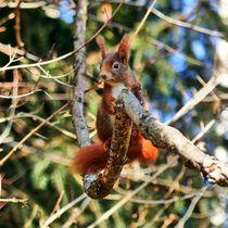 Rotes Eichhörnchen im Wald von kattobello