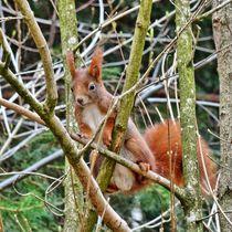 Rotes Eichhörnchen im Baum von kattobello