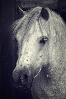 Welsh Cob von AD DESIGN Photo + PhotoArt