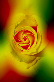 Abstract in Perfection - Rose by Walter Zettl
