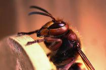 Hornet, hornisse von hottehue