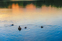 Family of Ducks at Sunset by Vincent J. Newman