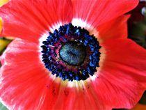 rote Kronen-Anemonenblüte, mit Staubbeuteln by assy