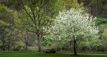 tree in bloom von Tim Seward