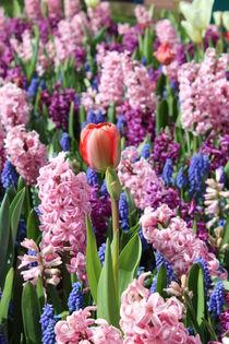 Tulpe mitten in Hyazinthen von Verena Geyer