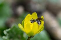 Eine Wildbiene genießt die Zeit in einer gelber Blüte by Ronald Nickel