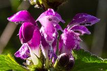 Die Blüte der Gefleckten Taubnessel by Ronald Nickel