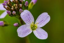 Die Blüte des Wiesen Schaumkrauts by Ronald Nickel