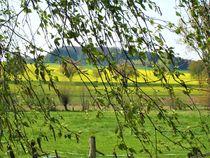 es ist Mai ! Blick durch Birken auf Rapsfelder von assy