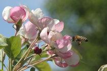 Apfelblüten mit Biene von Raingard Göbel