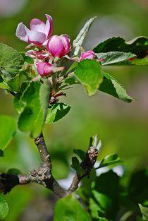 'Apfelblüte... 1' von loewenherz-artwork
