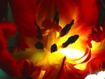 Verstecktes Tulpeninnenleben by Zarahzeta ®
