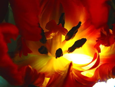 Tulpeninnenleben