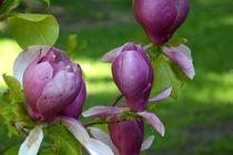 Magnolienblüten von Walter Root