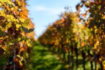 Weinberg im Herbst von Christian Braun