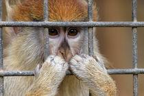 Affe in gefangenschaft by Christian Braun