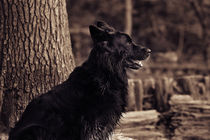 German shepherd by hottehue