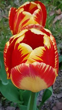 Tulpen 2 von Walter Root