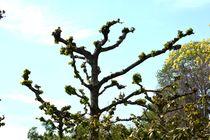 Baum-Hasel (Corylus) von Walter Root