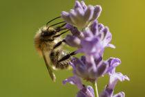 Biene von Simone Rein