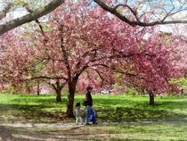 Enjoying The Cherry Trees by Susan Savad