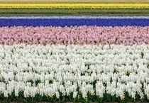 hyacinths 7 by Erik Mugira