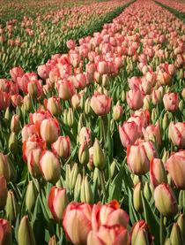 tulips 3 by Erik Mugira