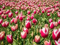 tulips 4 von Erik Mugira