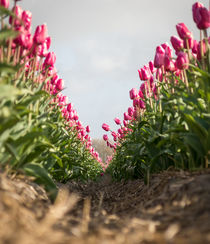tulips 7 by Erik Mugira