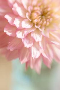 Dahlie in der Vase von blende007
