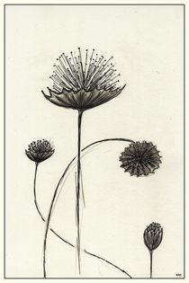 Scabiosa by dieroteiris