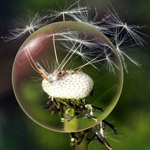 In the glass ball - Dandelion by Chris Berger