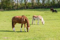 Pferde 43 von Erhard Hess