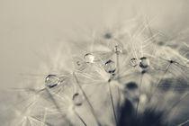 Blowball After Rain von Petra Dreiling-Schewe