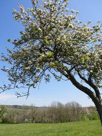 Apfelbaum mit Blüten von Ivy Müller